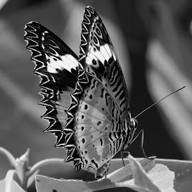 Butterfly by SANGEETA MENA  - Black & White Animals (  )
