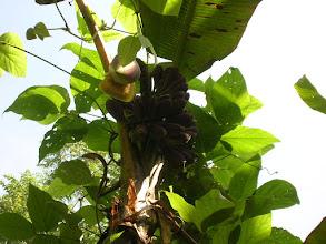 Photo: 山芎蕉 Musa formosana、 山葛 Pueraria montana