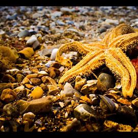 Starfish by Niamh Holman - Nature Up Close Rock & Stone ( starfish, pebbles, beach )