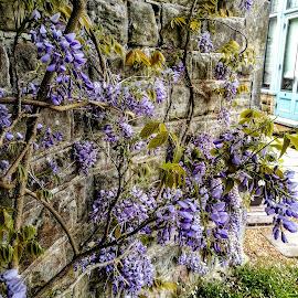 Wisteria  by Sam Kirimli - Flowers Flower Gardens