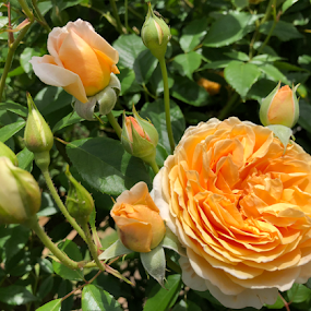 Rose Love by ADW Photography - Flowers Flower Gardens ( #flower #botanical #roses #orange #scent #dainty #regentspark )