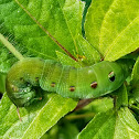 Swinhoe's striated hawkmoth caterpillar