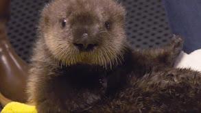 The Naughty Otter thumbnail