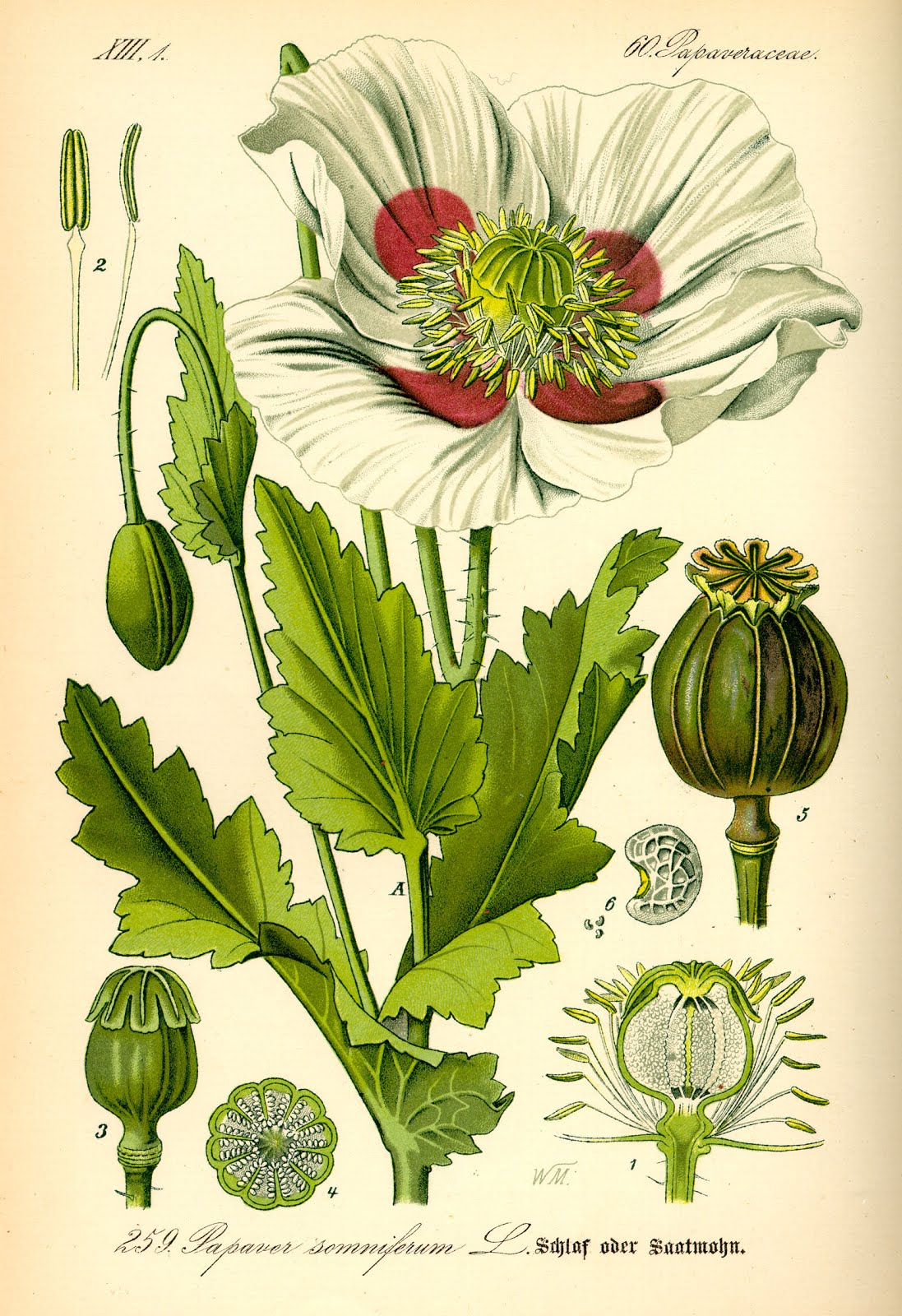 Papaver somniferum.jpg