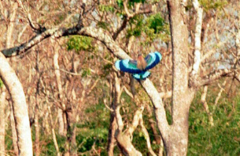 Photo: The beautiful Indian Roller on the wing