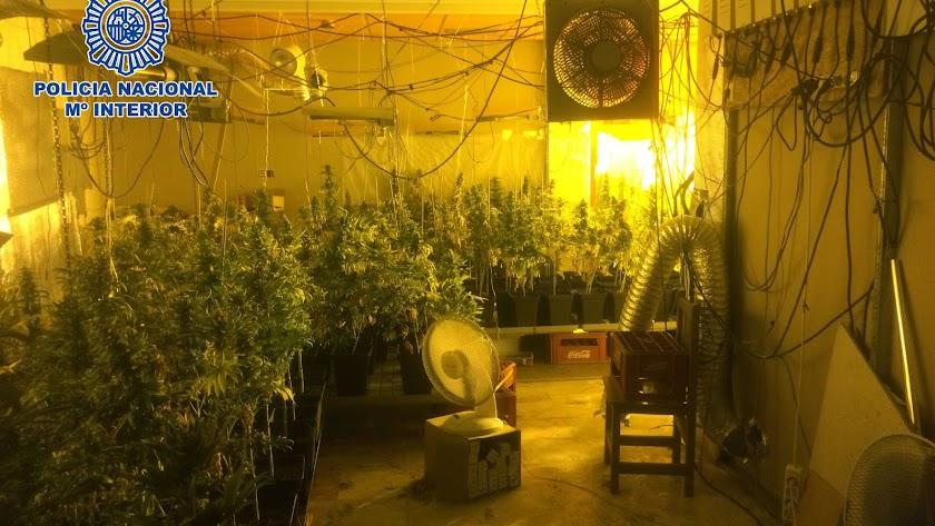 Nueva operación contra la marihuana en Pescadería: un detenido con 219 plantas
