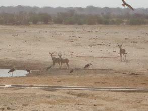 Photo: The kudu get closer.