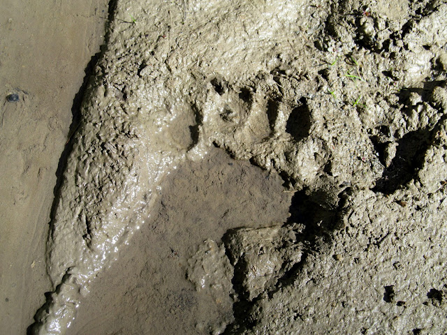 Bear track in the mud