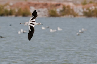 Photo: American avocet in flight