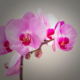 by Eugene Dopheide - Flowers Flower Buds ( orchids, pink, flowers )