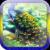 Beautiful Peacock LWP
