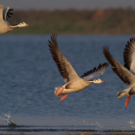 Bar Headed Geese by Saumitra Shukla - Animals Birds ( bird, migration, flying, fly, color, wings, beautiful, wildlife, travel, geese, travel photography, animal,  )