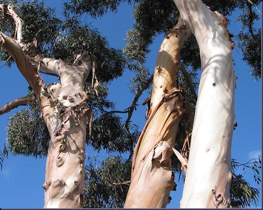 eucalyptus_1280x1024