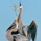 Great Blue Heron 026.jpg