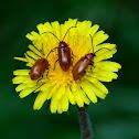 Daffodil leaf beetle; Galeruca de los narcisos