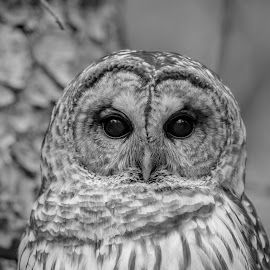 Barred Owl by Debbie Quick - Black & White Animals ( barred owl, raptor, debbie quick, owl, nature, debs creative images, new york, birds of prey, outdoors, bird, animal, millbrook, cary institute of ecological studies, black and white, wild, hudson valley, wildlife )
