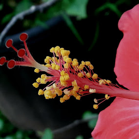 Hibiscus flower buds by Rajashri Joshi - Flowers Flower Buds