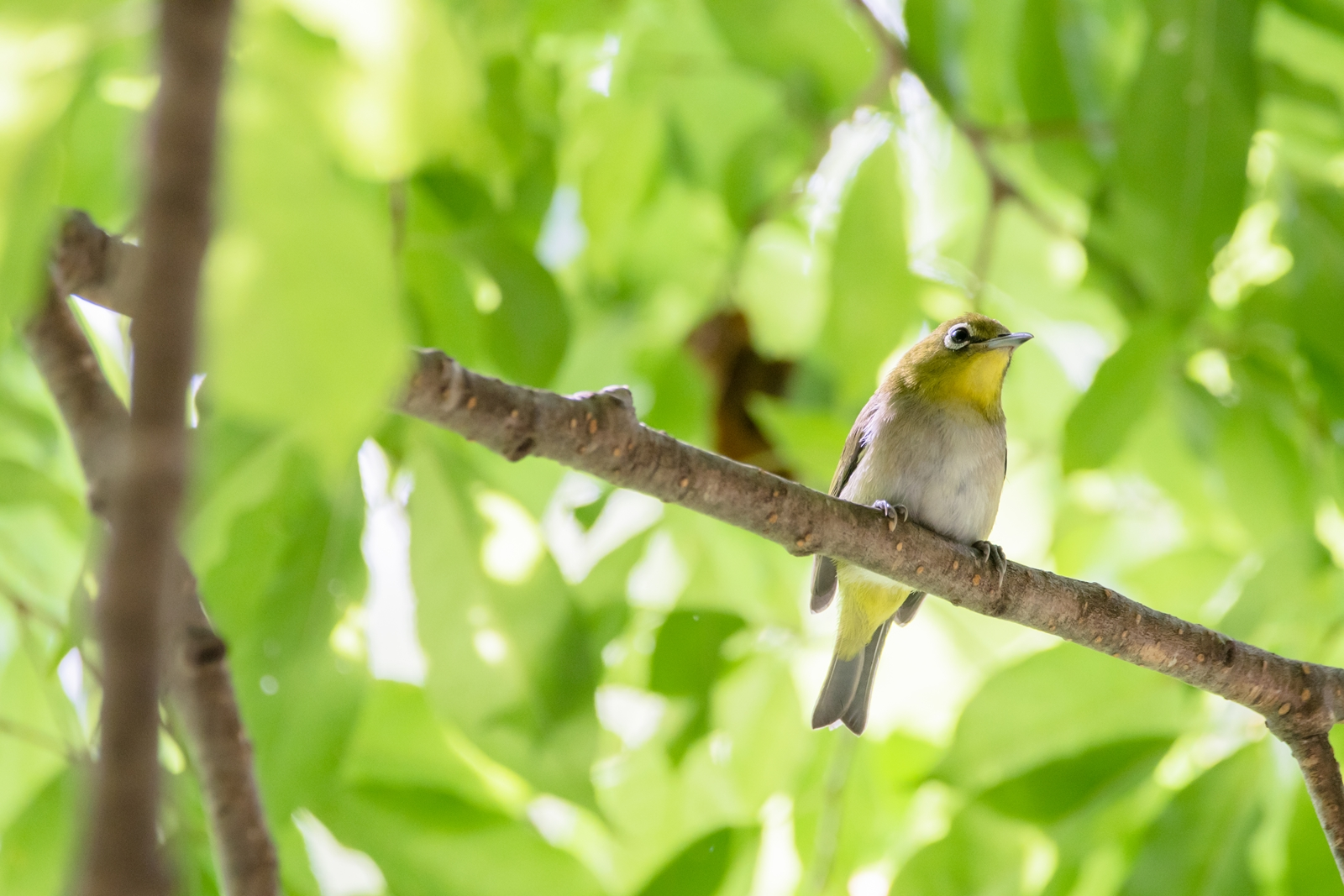 Photo: 「落ち着く緑」 / Calm green.  ここが落ち着く この季節が落ち着く 居心地のいい色 緑に包まれる季節  Japanese White-eye. (メジロ)  Nikon D500 SIGMA 150-600mm F5-6.3 DG OS HSM Contemporary  #birdphotography #birds #kawaii #ことり #小鳥 #nikon #sigma  ( http://takafumiooshio.com/archives/2752 )