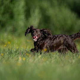 Wachtelhund by Ronnie Bergström - Animals - Dogs Running ( green, wachtel, nature, sunshine, happy, tree, run, wachtel dog, wachtelhund, brown, sun, running, hund, sweden, grass, dogs, dog, landscape )