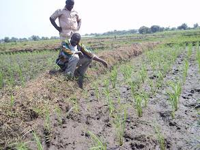 Photo: First SRI plot in Liberia. (Robert Bimba, Vice President of the Liberia Farmer Association, learned about SRI during the SRI West workshop in Burkina Faso in July 2012)