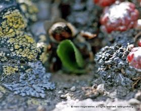 Photo: Hummelflug - Das Insekt bringt eine grünes Blattteil ins Nest