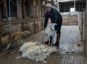 Photo: A naked sheep and its former wool coat