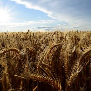 Wheat fields 011.JPG