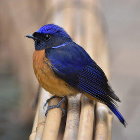 Rufous-bellied Niltava by William Tan - Animals Birds ( bird, orange, niltava, rufous-bellied, blue, portrait )