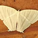 Micronid Swallowtail Moth