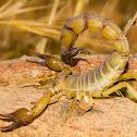 Yellow fat-tail scorpion