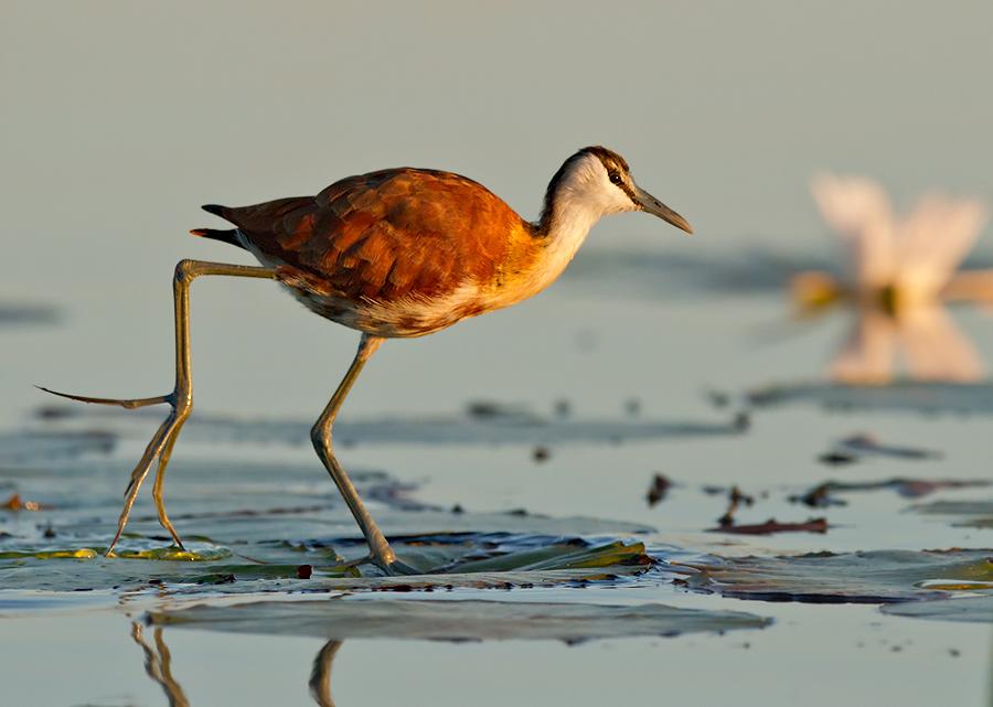 Twinkle Toes by Morkel Erasmus - Animals Birds ( okavango, botswana, waterbird, avian, delta, toes, long, saffascapes, wader, bird, jacana, morkel erasmus, africa )