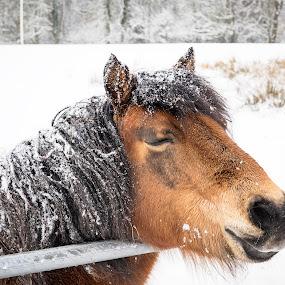 I Wish It Were Spring by James Johnstone - Animals Horses ( white, snow, winter, gate, pony,  )