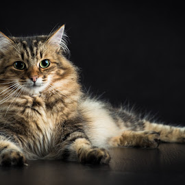 Mister Kitteh Portrait by Blair Wright - Animals - Cats Portraits ( cat, pet, siberian, portrait, animal )