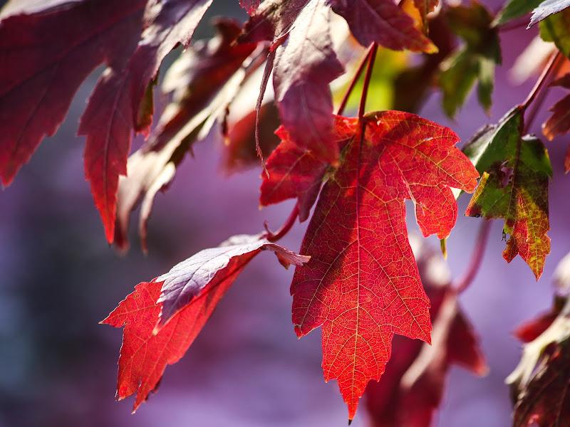 si sta come d'autunno sugli alberi le foglie di lafede