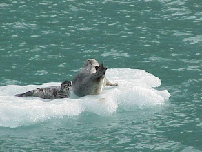 Photo: Harbor Seal Mother and Pup