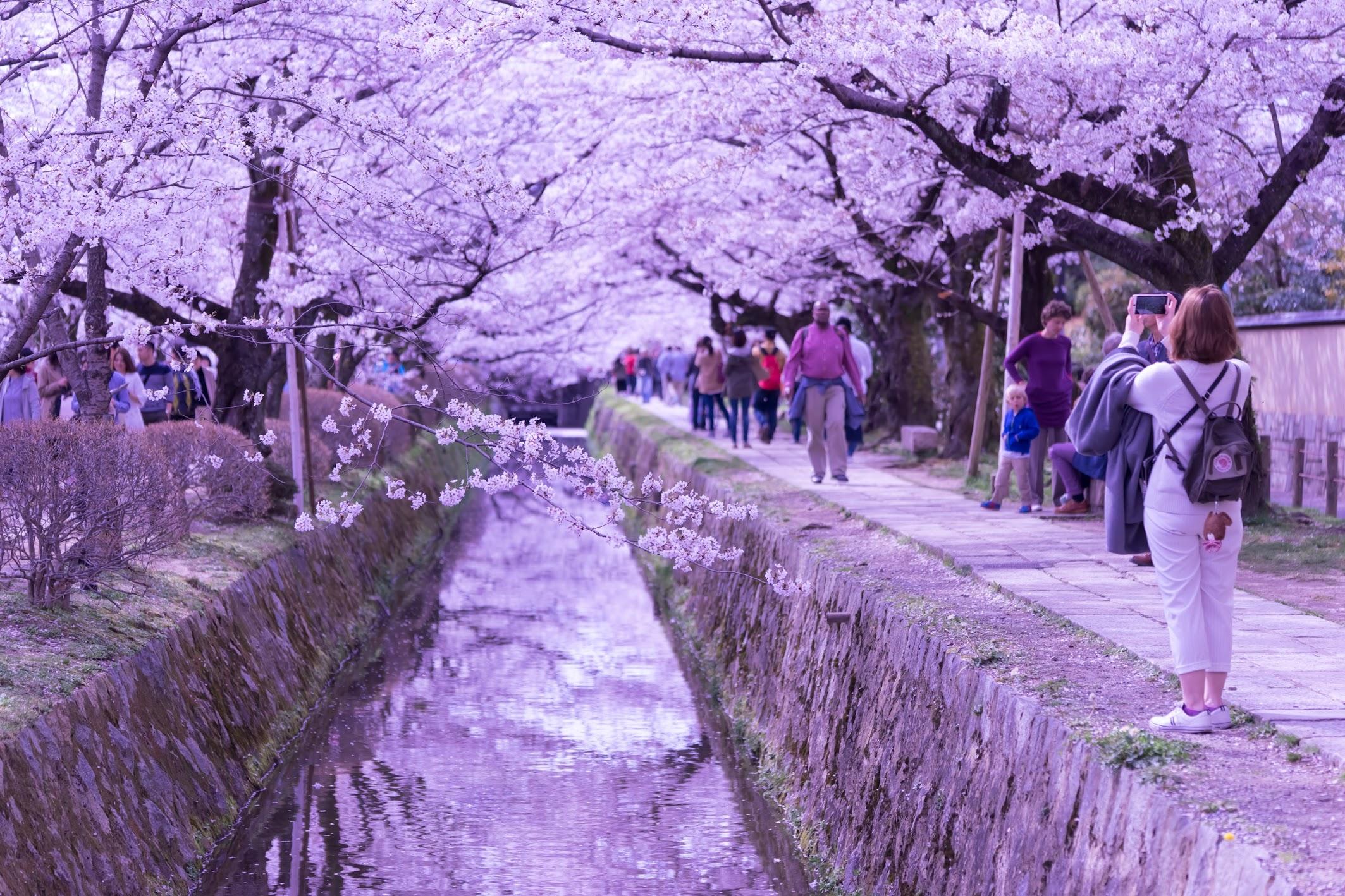 京都 桜 哲学の道3