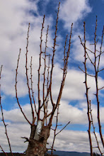 Photo: Grafted Pears