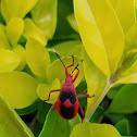 Red true bug nymph