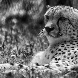 cheeter by Kellee Wright - Black & White Animals ( spots, cheetah, zoo, black and white, mammal, animal,  )