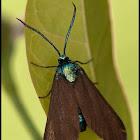 Theresimima ampellophaga