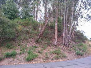 Photo: More eucalyptus and french broom