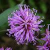 Broadleaf Ironweed, Appalachian Ironweed, Tawny Ironweed