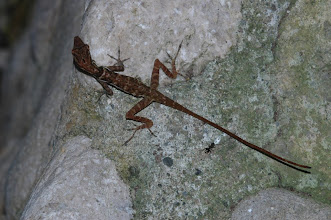 Photo: Norops polylepis 3, Esquinas Rainforest (8:42/-83:12), 19-05-2006, Author: Erwin Holzer, det. Gerardo Chaves