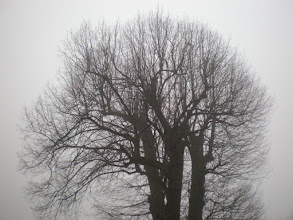 Photo: For #MistyMonday by +Martin Rak  For #TreeTuesday by +Drew Pion and +Stephanie Suratos #TreeThursday  Took this photo this morning on my way to work. I pass this Linden tree (Tilia) every day and can watch it change with the seasons. It has been cut down to the main limbs some time ago and it has all regrown again.