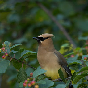 Cedar Waxwing by Francois Larocque - Animals Birds ( color, fruit, bird, feeding, tree )