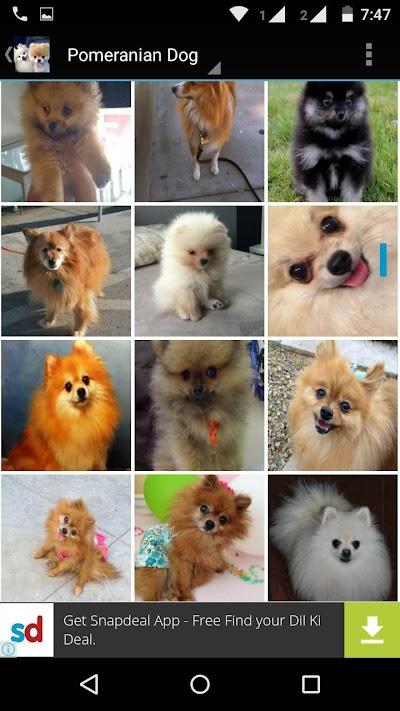 Pomeranian Dog Wallpapers Hd Apk Download Apkindo Co Id