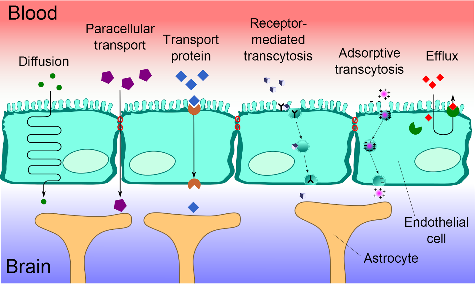 Illustration by Armin Kübelbeck, showing the different types of transportation through the blood-brain barrier. https://commons.wikimedia.org/wiki/File:Blood-brain_barrier_transport_ca.png