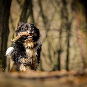 wild thing by Mathias Ahrens - Animals - Dogs Running ( wood, pwcmovinganimals-dq, australian shepherd, running )