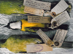 Photo: Two bird specimens collected by Wallace and a third, from Australia, which was not collected by him but was probably from his private collection. © University Museum of Zoology Cambridge & Fred Edwards