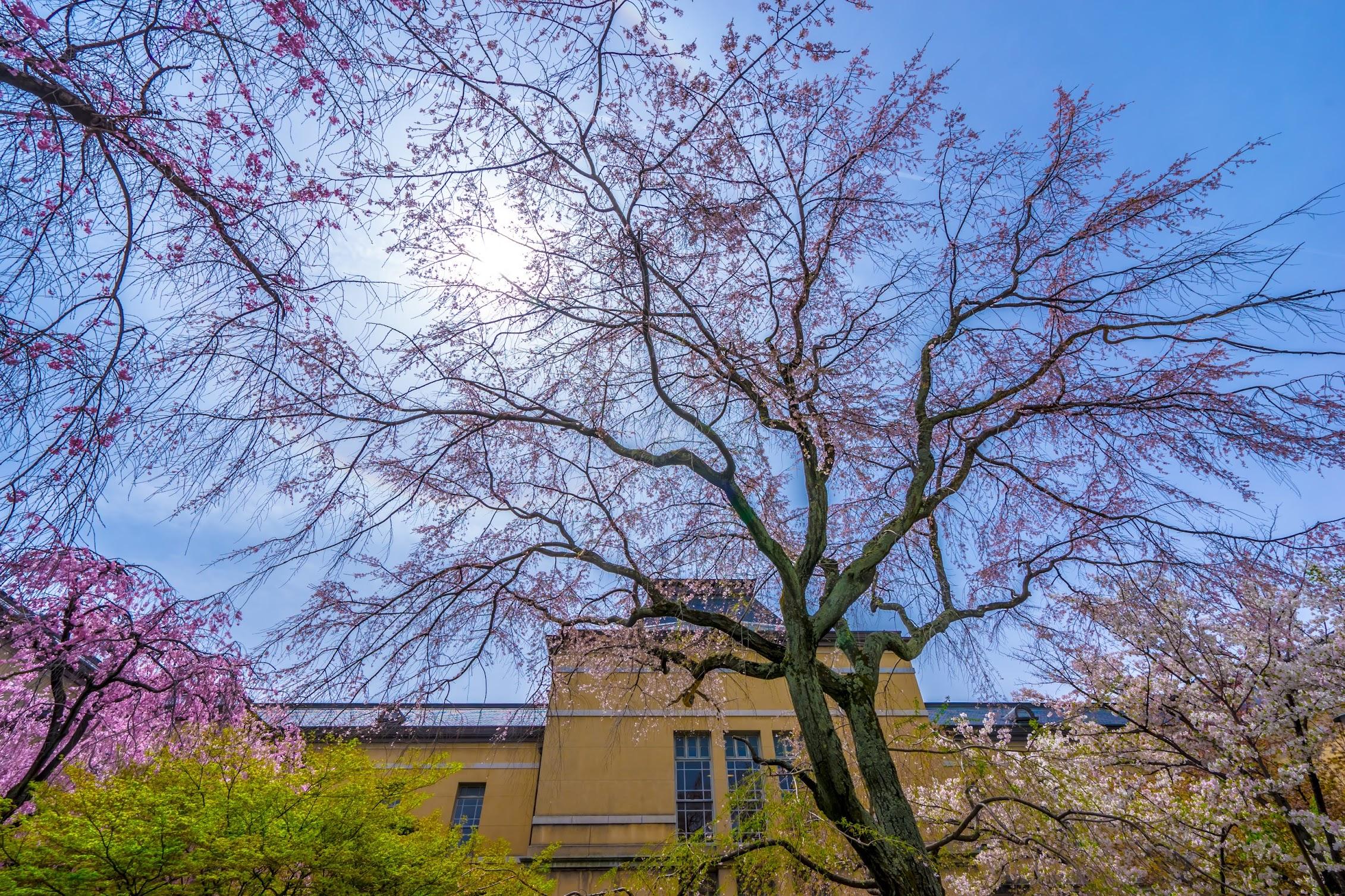 京都府庁旧本館 桜2